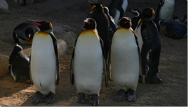 Pinguinos-Rey
