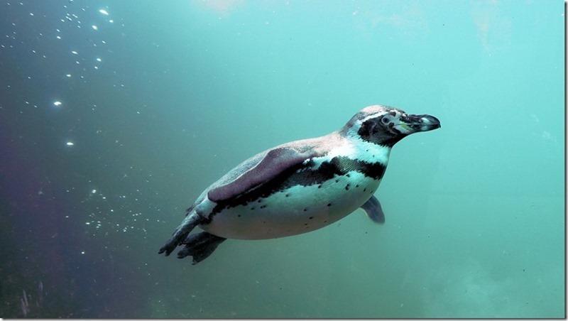 Pinguino-Humboldt-3